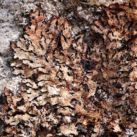 Parmelia omphalodes ssp. pinnatifida)