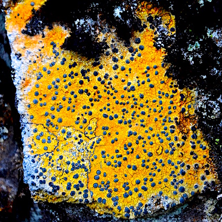 Porpidia flavicunda