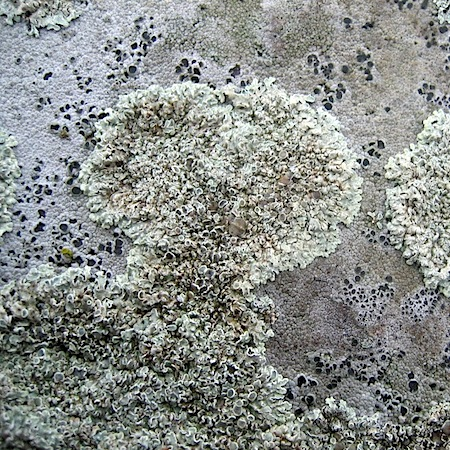 Protoparmeliopsis muralis