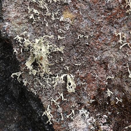 ramalina pollinaria