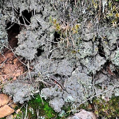 trapeliopsis granulata
