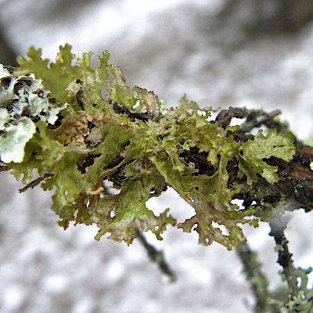 Tuckermannopsis chlorophylla