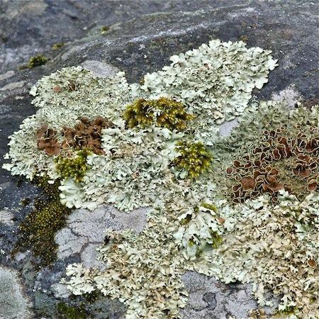 Xanthoparmelia stenophylla