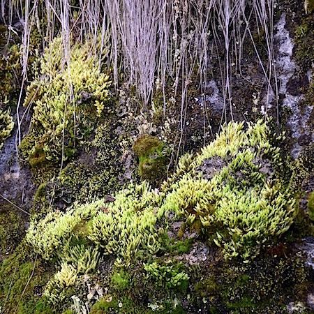 Aulacomnium turgidum