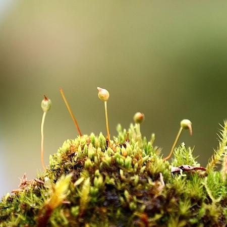 Conostomum tetraconum