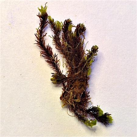 Grimmia atrata
