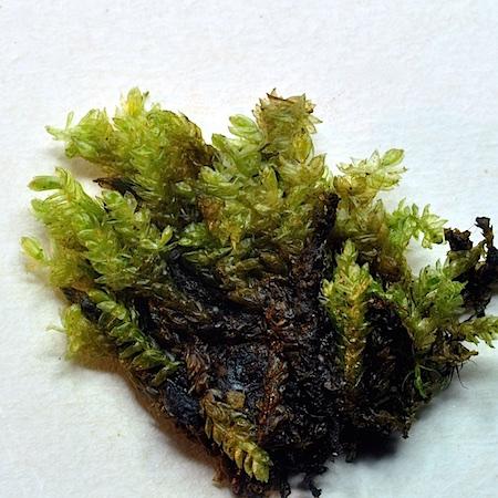 Hygrohypnum alpestre
