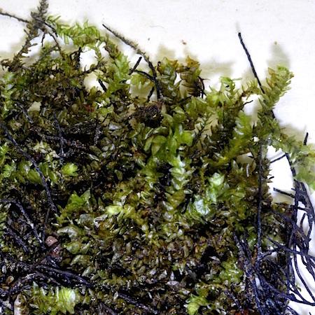 Hygrohypnum smithii