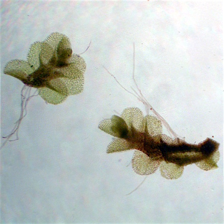 Jungermannia jenseniana