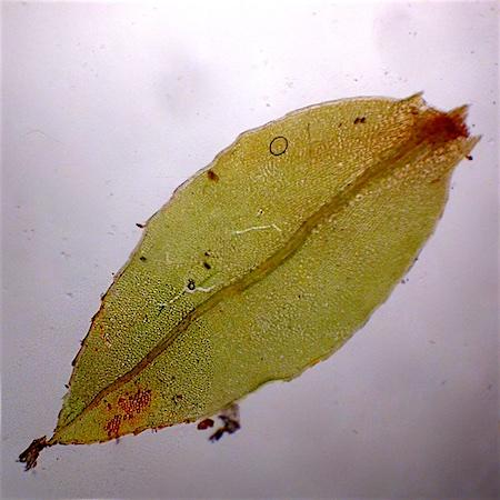 Mnium marginatum