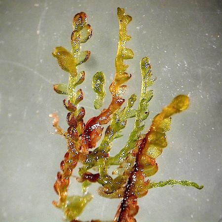 Pleurocladula albescens