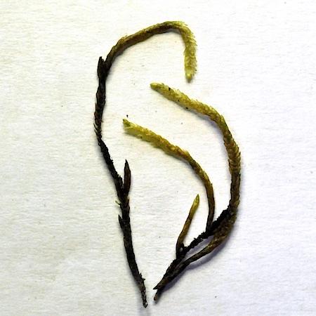 Pseudocalliergon trifarium