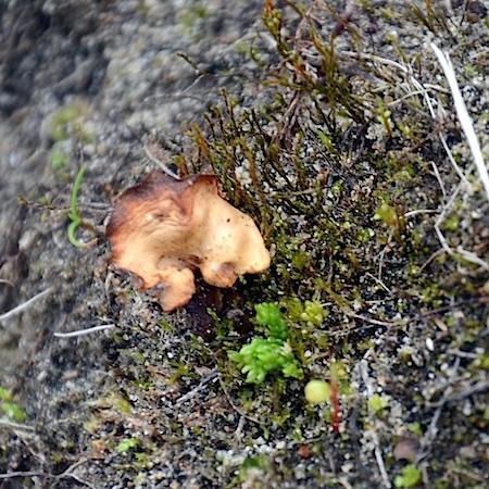 Psilopilum cavifolium