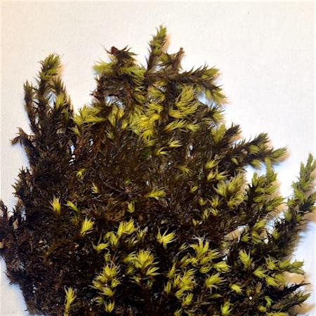 Racomitrium ericoides