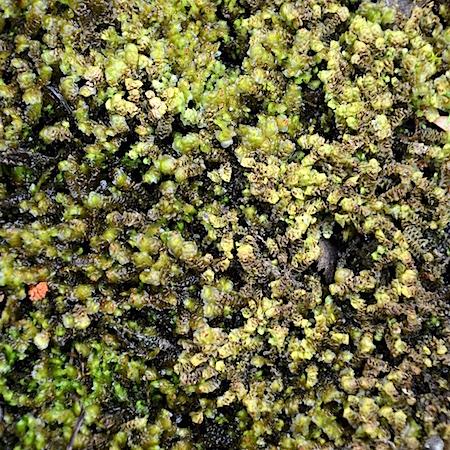 Scapania hyperborea