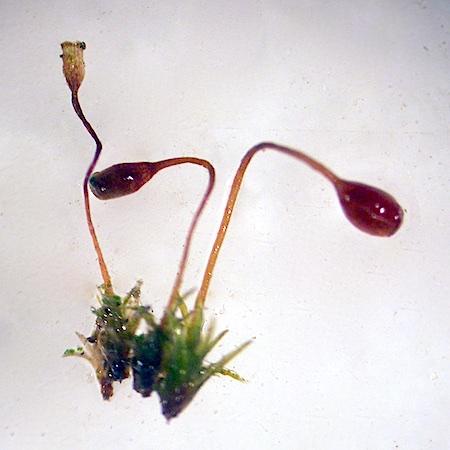 Seligeria campyloboda