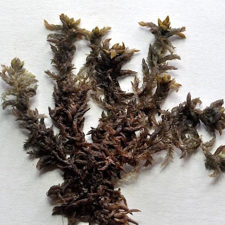 Sphagnum platyphyllum