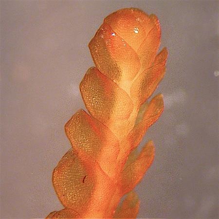 Anastrophyllum cavifolium