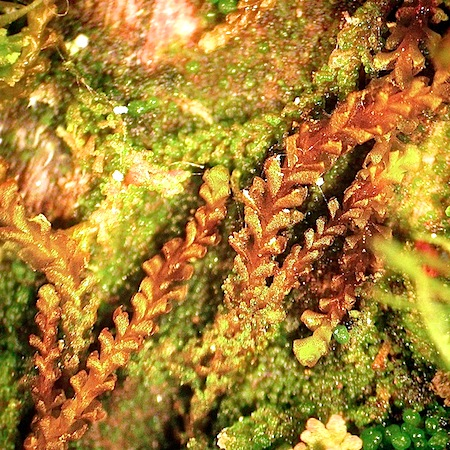 anastrophyllum hellerianum