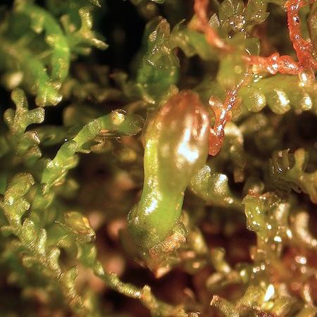 anastrophyllum minutum