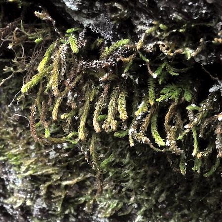 Anomodon viticulosum
