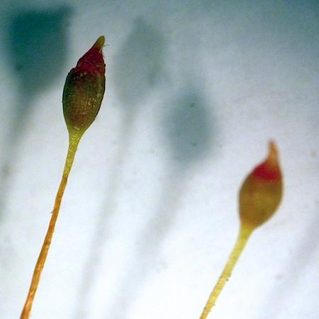Aongstroemia longipes