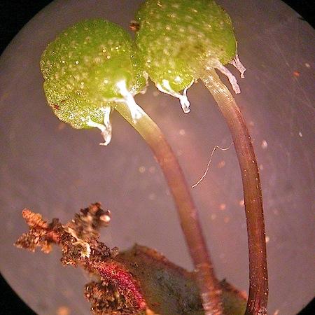 astrella gracilis