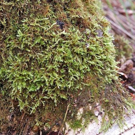 brachythecium erythrorrhizon
