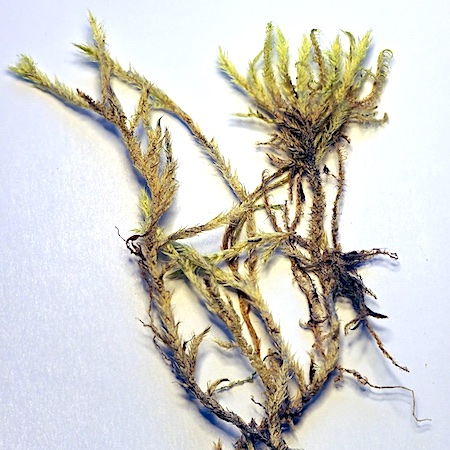 brachyhecium turgidum
