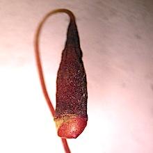 Bryum archangelicum