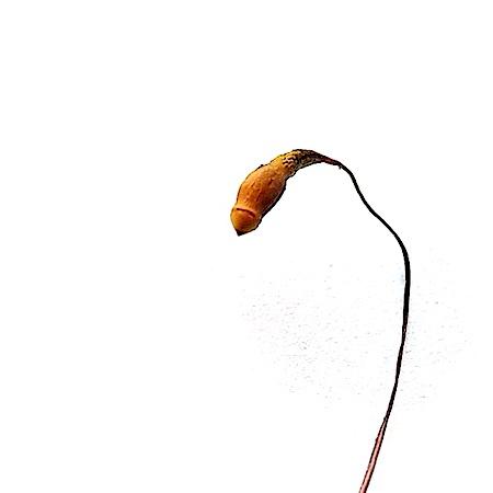 Ptychostomum arcticum