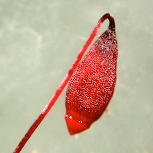 Bryum creberrimum