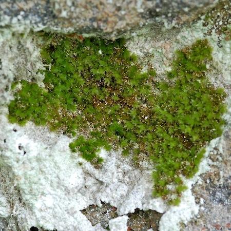 bryum moravicum