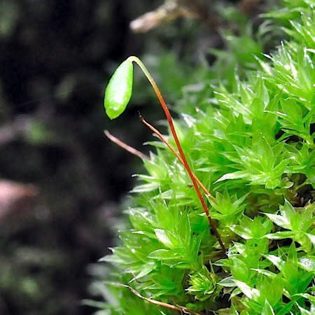 bryum pallescens