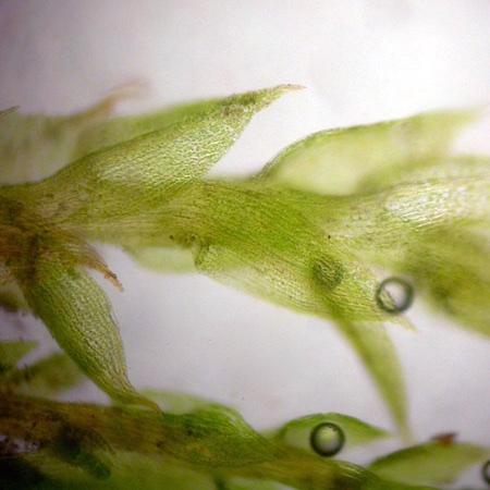 Bryum violaceum