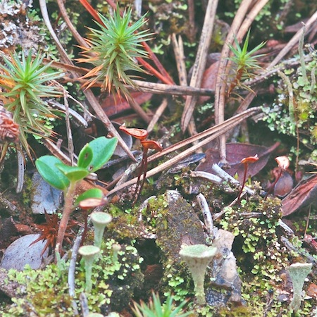 Buxbaumia aphylla