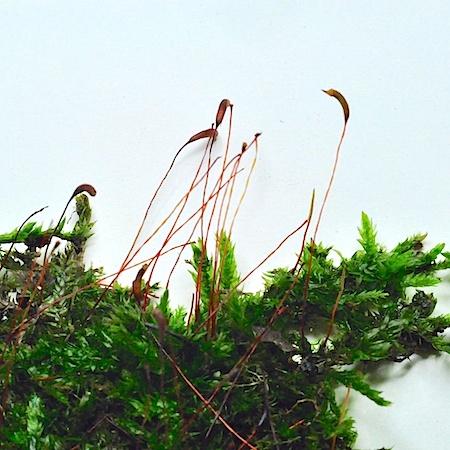 Callicladium haldanianum