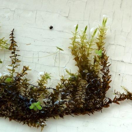 calliergon megalophyllum