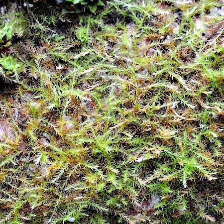 Campyliadelphus chrysophyllus