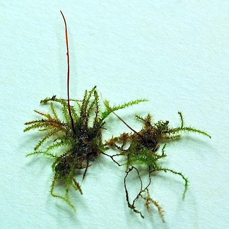 campylophyllum calcareum