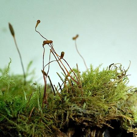 campylophyllum sommerfeltii