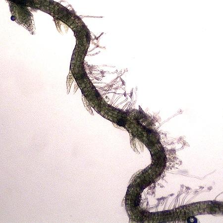 cephalozia leucantha