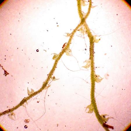 cephalozia loitlesbergeri