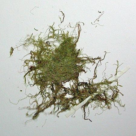 cephalozia lunulifolia