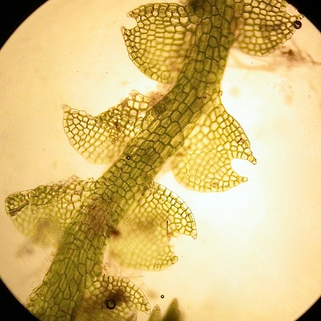 Cephalozia pleniceps