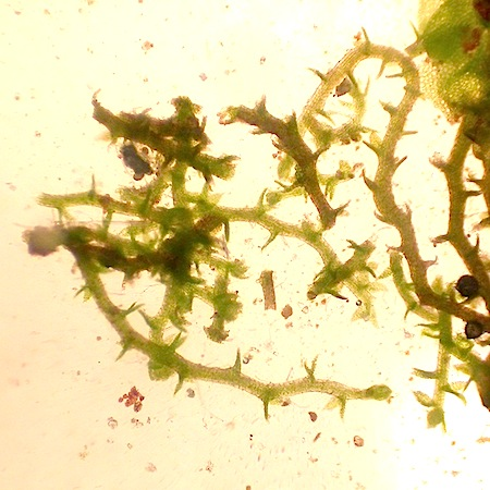 cephaloziella divaricata