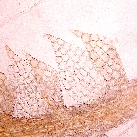 cephaloziella rubella