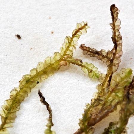 chiloscyphus polyanthos