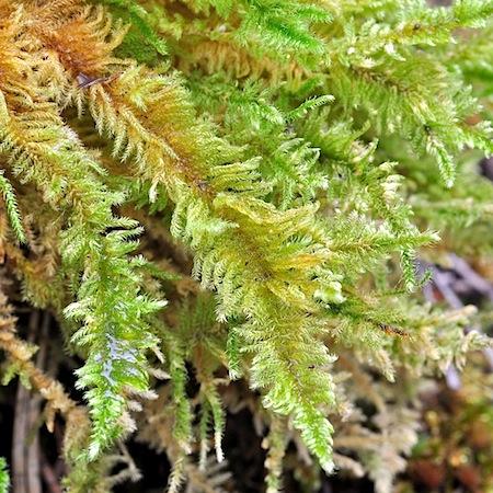 ctenidium molluscum