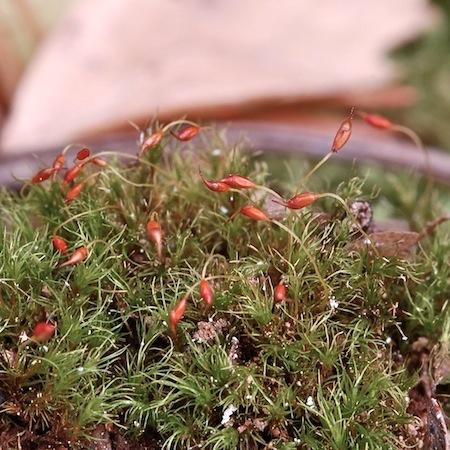 cynodontium tenellum